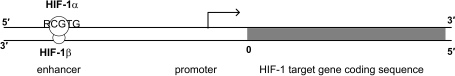 "The regulation of a typical HIF-1 target gene. A HIF-1 target gene codes for a specific protein. The promoter is located immediately upstream of the coding sequence for the protein for regulating the gene expression. The enhancer is located upstream of the promoter with different lengths of spacing and with HIF-1 binding site. HIF-1 consists of HIF-1α and HIF-1β subunits. HIF-1α and HIF-1β can dimerize, and bind to the enhancer region to increase its promoter activity. HIF-1 commonly has the binding site ""RCGTG"" in the enhancer region.41,42,44"
