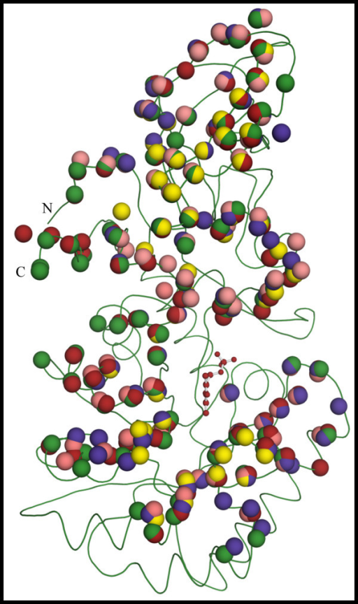 Position of residues taking part in intermonomer contacts is highly conserved among various Alrs, despite differences in hinge angles. Following a structural alignment of the N-terminal domains of various Alrs, the position for the Cα atoms from residues that take part in intermonomer contacts and are in the N-terminal domain (shown as colored spheres) was plotted on the main chain representation of AlrBax (shown in green). Likewise, the position for the Cα atoms from residues that take part in intermonomer contacts and are at the C-terminal domain (shown as colored spheres) were plotted on the main chain representation of AlrBax after a structural alignment of the C-terminal domains of various Alrs. Residues are colored according to the legend on figure 3. The PLP cofactor from AlrBax is shown as a ball and stick model. N and C indicate the position of the C- and N-termini in the monomer.