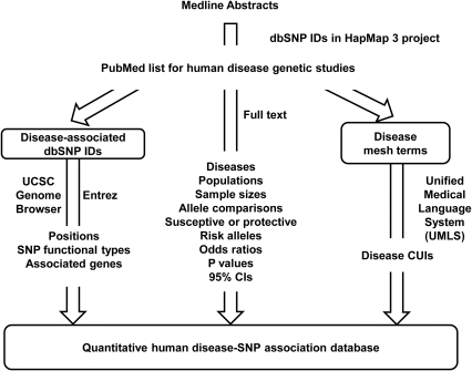 A curated quantitative disease-SNP association database.Starting from a list of all SNPs measured in the HapMap 3 project, we searched for their presence in all Medline abstracts, eliminating non-human studies. Significant SNP-disease associations were manually curated from the full text, and reviewed four rounds. SNP IDs were annotated using the UCSC genome browser for positions and function types and annotated using Entrez for associated genes. Disease mesh terms were compared with the Unified Medical Language System (UMLS) to select concept unique identifiers (CUIs).