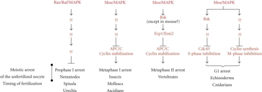 Meiotic arrest of the unfertilized oocyte: the downstream effectors of Mos/MAPK. In all species, oocytes halt meiosis to prevent embryonic development in the absence of fertilization. Depending on species, meiosis arrests at prophase I, metaphase I, metaphase II, or G1 following meiosis. Except in C. elegans, Mos was found to be the ubiquitous cytostatic factor responsible for the unfertilized oocyte arrest. Its downstream targets accounting for the meiotic arrest of the unfertilized oocytes are indicated.