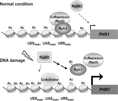 A model for Rph1-regulated PHR1 expression in response to DNA damage. Under normal conditions, Rph1 associates with URSPHR1, and PHR1 transcription is repressed (upper panel). Under DNA damage signaling, Rph1 dissociates from the PHR1 promoter to induce the expression of PHR1. Ac, histone acetylation; Me, H3K36 tri-methylation; Pi, phosphorylation; See 'Discussion' section for details.