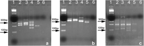 Agarose gel electrophoresis images from a) Algal ITS1 (∼100–300 bp), b) Algal ITS2 (∼300 bp) and c) Archaeal 16s (∼200 bp).Sample order: Lane 1: DNA ladder, 2: Modern Saline Valley, 3: Saline Valley ∼36 ka, 4: Saline Valley ∼64 ka, 5: Saline Valley ∼150 ka, and 6: PCR –ve.