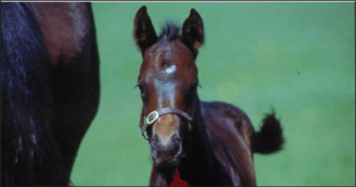 Foals with category 1 form of perinatal asphyxia syndrome have normal delivery and normal postnatal behaviour but develop symptoms within 24 hours of birth.