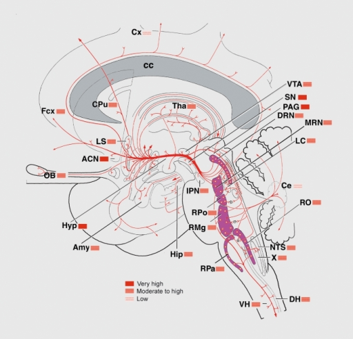 Schematic sagittal view of the human brain showing the | Open-i