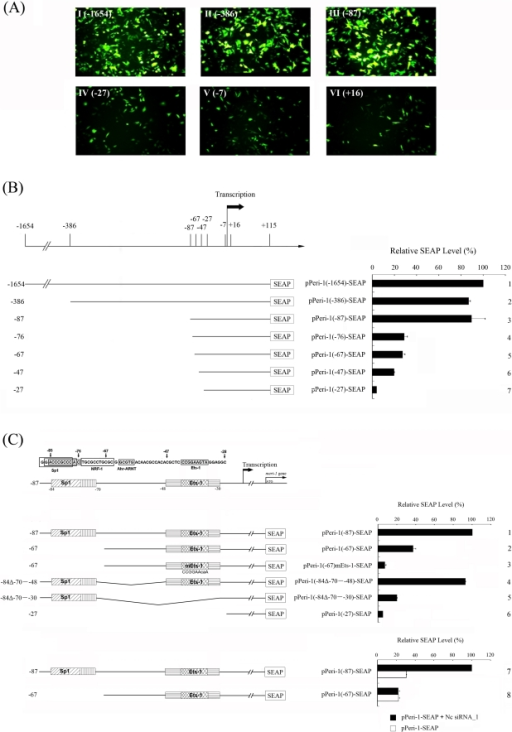Sp1 and Ets-1 binding sites are the key cis-elements for the siRNA-stimulated meri-1 promoter activity.The hd-siRNA-stimulated transcriptional activity of the truncated meri-1 promoters was determined using the GFP reporter assay and the secreted alkaline phosphatase (SEAP) activity assay. (A) GFP assay testing the activity of the truncated meri-1 promoters. CHO cells were co-transfected with Nc siRNA_1 and GFP reporter constructs containing the truncated meri-1 promoters (I–VI). (B) SEAP activity assay testing the activity of the truncated meri-1 promoters. CHO cells were co-transfected with SEAP reporter constructs containing the truncated meri-1 promoters and Nc siRNA_1. (C) Upper panels: A schematic presentation of the putative trans-factor binding sites in the −87 to −28 region of the meri-1 promoter, as predicted by MAPPER [48]. Middle panels: The SEAP activity in the culture media of the CHO cells co-transfected with Nc siRNA_1 and the SEAP reporter constructs, including the 180-bp meri-1 promoter (Peri-1(−87)) (panel 1), the 160-bp meri-1 promoter with deletions of Sp1 and NRF-1 site (Peri-1(−67)) (panel 2), the same fragment with a mutation in the Ets-1 binding site (Peri-1(−67)mEts-1) (panel 3), the same sequence as Peri-1(−47) but with the Sp1 site added to the 5′ end (Peri-1(−84Δ−70–−48)) (panel 4), the same sequence as Peri-1(−27) but with the Sp1 site added at the 5′ end (Peri-1(−84Δ−70–−30)) (panel 5), or the 120-bp meri-1 promoter (Peri-1(−27)) (panel 6). Lower panel: The SEAP activity in the culture media of the CHO cells transfected with the truncated meri-1 promoters. The CHO cells were co-transfected with SEAP reporter constructs containing the truncated meri-1 promoters and Nc siRNA_1 or 21-bp DNA control. The data represents the mean of three independent experiments, and the error bars indicate the SD of triplicate samples.