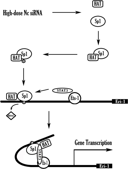 Schematic summary of the hd-siRNA-stimulated meri-1 promoter activity.High-dose siRNAs treatment induces the interaction of Sp1 with histone acetyltransferase (HAT) leading to the acetylation of Sp1 and the DNA binding of Sp1 to the meri-1 promoter. In addition, histone deacetylases (HDAC) are released from the promoter. STAT3 will be recruited to the meri-1 promoter and bridge Sp1 with the co-activator Ets-1 to form the transcriptional complex and enhance the transcription of meri-1.
