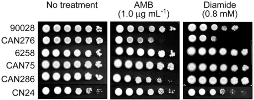 Dilution bioassays showing phenotypic responses of yeast pathogens to amphotericin B (AMB) or diamide. 1 × 106 cells were serially diluted 10-fold in SG liquid medium, and were inoculated onto agar plates. Data are representative results shown from 1 μg mL−1 (AMB) and 0.8 mM (diamide), respectively.