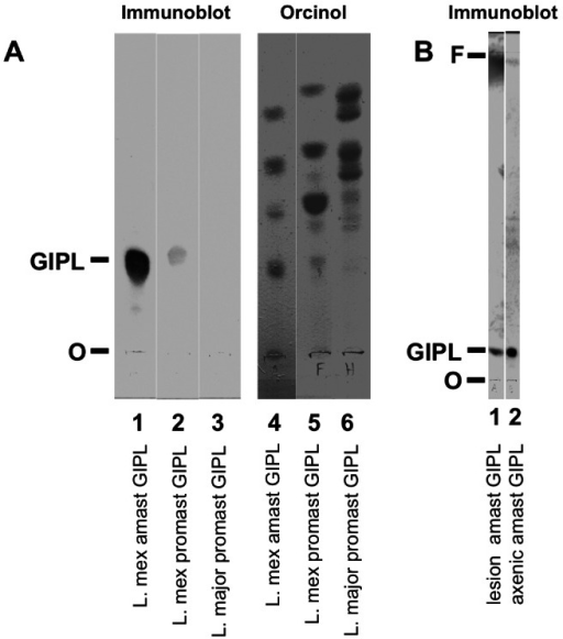 IgG recognizes a single GIPL spot on TLC immunoblot.A. Purified GIPLs [2×108 cell equivalents (c.e.)] from L. mexicana amastigotes (lanes 1 and 4), L. mexicana stationary-phase promastigotes (lanes 2 and 5), and L. major stationary-phase promastigotes (lanes 3 and 6) were separated by TLC. Lanes 1–3 were stained by immunoblot with serum from L. mexicana-infected mice (from 29 wks). Lanes 4–6 were stained with orcinol to visualize GIPLs. O, origin; F, front; GIPL, the GIPL recognized by anti-serum. B. Immunoblot as in A: L. mexicana lesion amastigote GIPL (lane 1, 2×108 c.e.), L. mexicana axenic amastigote GIPL (lane 2, 108 c.e.). Data represent at least 12 experiments using 4 different sera, with similar results.