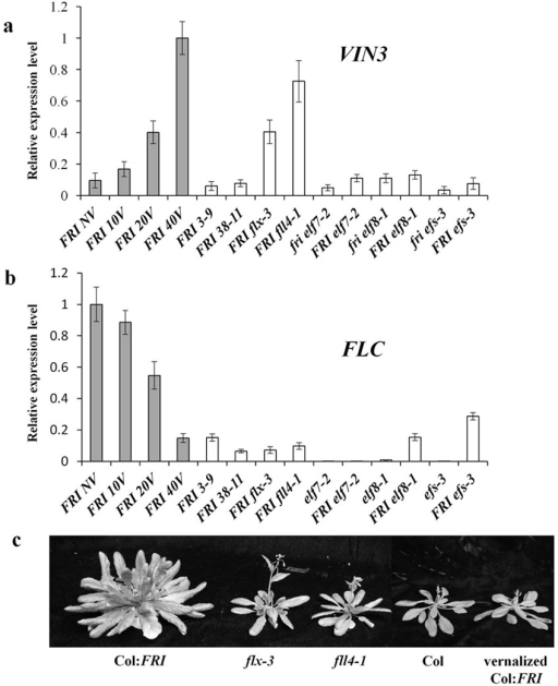 flx-3 and fll4-1 alter VIN3 and FLC expression without coldflx-3 and fll4-1 exhibit VIN3 up-regulation (a) and FLC down-regulation (b) without vernalization. FRI 3–9 and FRI 38-11 were selected as negative controls for VIN3 expression from among the FRI-suppressor mutants we identified. FLC and VIN3 expression were also monitored in fri elf7-2, FRI elf7-2, fri elf8-1, FRI elf8-1, fri efs-3 and FRI efs-3 as additional controls. (c) Flowering phenotype of flx-3 and fll4-1. All of the expression data are presented as mean values of three biological replicates. Error bars indicate standard deviation.