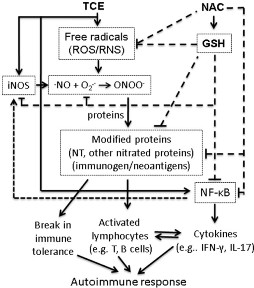 The plausible mechanisms of TCE-induced autoimmune response and its attenuation by NAC supplementation.