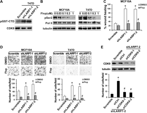 P-TEFb is required for the increased cell migration and invasion induced by LARP7 KD.(A) An in vitro kinase assay using GST-CTD of Pol II as an exogenous substrate shows that silencing LARP7 results in activation of P-TEFb kinase. (B) Flavopiridol (Flvp) inhibits Ser2 phosphorylation of Pol II CTD in MCF10A and T47D cells. Cells were treated with varying concentrations of flavopiridol for 7 hr before lysis, and pSer2 and total Pol II levels were analyzed by Western blotting. Tubulin was used as a loading control. (C–D) Treatment of cells with 0.3 μM flavopiridol reverses the accelerated cell motility of shLARP7 cells in the wound healing assay (C) and cell migration in the Transwell assay (D). Data are presented as the mean ± SD. p values were determined by the Student's t test. *p<0.05; comparison was between shLARP7 and scramble groups under DMSO treatment; #p<0.05; comparison was between Flvp- and DMSO-treated cells within the same cell lines. (E) Silencing CDK9 by siRNA reverses shLARP7-induced increase in cell migration. Two siCDK9s (siCDK9-1 and siCDK9-2) were transfected into T47D shLARP7-2 cells, and cell migration was assessed by a Transwell assay and quantified in the graph below. The efficiency of CDK9 knockdown was examined by Western blotting (upper panel). p values were determined by the Student's t test. *p<0.05, compared between shLARP7-2 siCtrl and scramble; #p<0.05, compared between shCDK9s and siCtrl.DOI:http://dx.doi.org/10.7554/eLife.02907.009