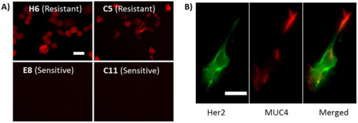 Molecular-scale mechanism of ineffective Her2 population.A) Resistant clones (H6 and C5) overexpress MUC4 while sensitive clones (E8 and C11) do not. B) Dual-staining of Her2 and MUC4 in one single cell showing negative co-localization for Her2 and MUC4. Similar features were observed in multiple cells, but only a representative one was shown here. Scale bars, 50 μm.