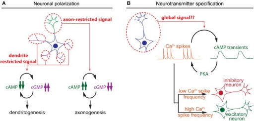 Spatiotemporal dynamics of cAMP during neuronal polarization and neurotransmitter specification. (A) Local interactions between cAMP and cGMP determine neurite maturation into axon or dendrite. High cAMP and low cGMP concentrations promote axonogenesis, whereas low cAMP and high cGMP lead to dentritogenesis. (B) In developing neurons, cAMP transients and calcium spikes are interdependent. The choice of expression of excitatory or an inhibitory neurotransmitter is modulated by the frequency of calcium spikes, which is regulated by the activity of a set of kinases including the cAMP effector PKA.