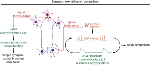 Spatiotemporal dynamics of cAMP during developmental pruning of ectopic axonal branches, and synaptic competition. cAMP is required in two subcellular compartments during the synaptic refinement of neuronal projections. In the soma of retinal ganglion cells, cAMP oscillations and spontaneous calcium waves are interdependent. Spontaneous calcium waves are required for competition between axons in their targets. In the synapses, cAMP signaling mediated by adenylyl cyclases 1 and 8 is involved in synaptic potentiation and hebbian mechanisms, which are crucial to eliminate misplaced synapses.
