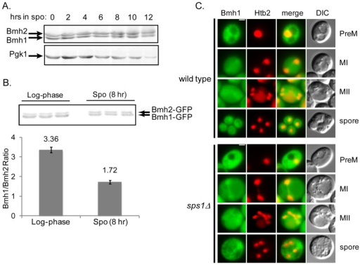 Bmh1 and Bmh2 protein expression and localization during sporulation.(A) Immunoblot probed with anti-Bmh antibody, showing Bmh1 and Bmh2 expression during sporulation using LH177 (wild type). Pgk1 was used as a loading control. (B) Quantification of Bmh isoform ratio during log-phase growth and sporulation. LH971 (BMH1-GFP BMH2-GFP) was sampled during log-phase growth and at 8 hours into sporulation. Immunoblot was probed with anti-GFP antibody and band intensities were measured. (C) Localization of Bmh1-GFP in a wild type background (LH972; top) and in an sps1Δ background (LH974; bottom) during sporulation. Htb2-mCherry is used as a nuclear marker. PreM: Pre-meiosis, MI: Meiosis I, MII: Meiosis II, Spore: mature spore. Scale bar = 2 µ.