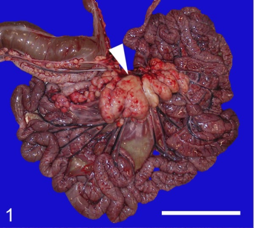 Gross photograph of the fetus' intestinal tract and the associated lymph nodes. Thecranial mesenteric lymph nodes are markedly enlarged (arrowhead). Bar=10 cm.