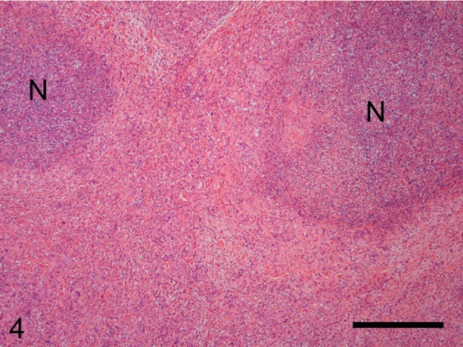 The cranial mesenteric lymph node has been replaced by a diffuse granulomatous lesioncontaining necrotic foci (N). HE. Bar=500 µm.