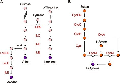 Metabolic pathways directly regulated by NdgR. The proteins identified by ChIP-seq are depicted by red characters. (A) NdgR directly regulates genes in most steps of the BCAA biosynthesis pathways. Though LeuA was not annotated as a member of NdgR regulon, the putative motif from genome-wide prediction using FIMO and low binding signal in ChIP-seq data was observed in its upstream region. (B) The sulfur assimilation into the cysteine biosynthesis pathways.