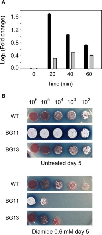 SigR-dependent transcription activation of thendgRgene inS. coelicolor.(A) Quantitation of ndgR transcripts using quantitative realtime-PCR analysis (qRT-PCR) from diamide-treated cells reveals that the ndgR gene is induced using the SigR promoter. mRNA level of ndgR in WT (black bars) was induced under diamide treatment compared to the level of ndgR in sigRrsrA deletion mutant (gray bars). All levels are normalized by the levels of each sample at 0 min. (B) Sensitivity test of WT, ndgR deletion mutant (BG11) and complemented mutant (BG13) under thiol oxidative stress. Serially diluted spores of WT, BG11 and BG13 were spotted on R5 agar plates with or without added diamide (0.6 mM). Plates were incubated at 30°C for 5 days.