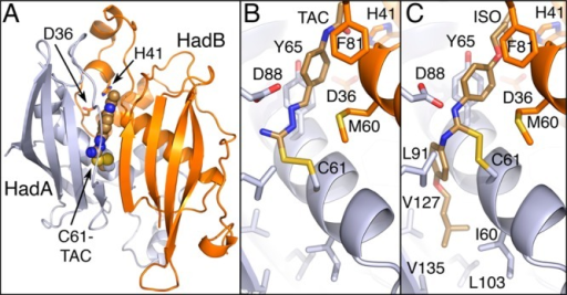 Structuralmodel of M. tuberculosis HadAB modified at HadA-C61.(A) The heterodimeric HadAB complex is shown as a ribbon diagram withHadA in gray and HadB in orange. Carbon atoms and bonds of each proteinmolecule are shown in the respective ribbon color. The carbon atomsof TAC are shown in bronze. All other atoms are colored by CPK. HadB-D36and HadB-H41, essential active site residues, highlight the HadABactive site. The atoms of HadA-C61 are shown as spheres. HadA-C61is at the end of an internal channel that extends from the enzymesurface near active site residues HadB-D36 and HadB-H41. (B) The predictedinteractions supporting complex formation between TAC and HadAB areshown. This model exhibits significant chemical complementary betweenthe predicted lipid-binding pocket of HadAB and the TAC molecule.(C) The predicted interactions supporting complex formation betweenISO and HadAB are shown in the same orientation as in panel B. Inaddition to the complementary interactions observed in the TAC model,the ISO model exhibits significant van der Waals interactions betweenthe atoms of the second phenyl isopentyl ether arm of ISO and theatoms forming a hydrophobic pocket in HadAB abutting HadA-C61.