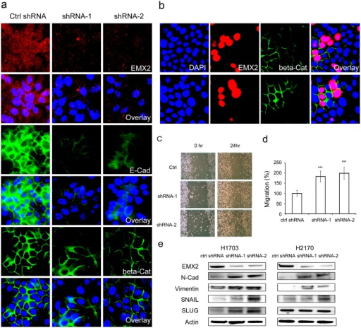 EMX2 may regulate EMT in lung SCC cell lines.(a) IF staining of EMX2 (red), E-Cadherin (green) and β-Catenin (green) in H2170 cells stably transfected with control shRNA or EMX2 shRNAs. (b) IF staining of EMX2 (red) and β-Catenin (green) in H1703 cells transiently transfected with EMX2 cDNA. Two representative fields were shown where the transfected cells had dramatic co-up-regulation of EMX2 and membrane β-Catenin, compared to the non-transfected cells in the fields. DAPI (blue) was used to stain nuclei of those cells for both panels (a) and (b). (c) Wound healing assays of lung SCC H2170 cells stably transfected with EMX2 shRNAs. Representative images shown at 0hr and 24hr were taken under a light microscope (100X). (d) Quantification of the wound healing assays. The migration distance of cells stably transfected with control shRNA was set as 100%. A p value of 0.001 or less was indicated as ***. (e) Western blot of EMT markers N-Cadherin and Vimentin and EMT regulators SNAIL and SLUG in lung SCC cell lines H1703 and H2170 stably transfected with different EMX2 shRNA constructs. Actin served as a loading control.