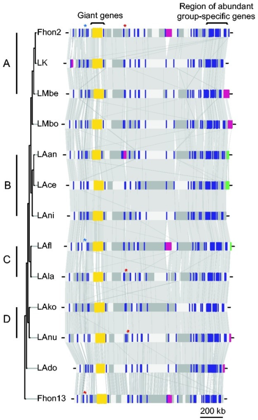 Comparative alignments of the L. kunkeei genomes. The color bars and boxes represent phages (pink); plasmids (green); genes identified to be present in all L. kunkeei genomes, but no other lactobacilli for which complete genome data are present (blue); and the contiguous giant genes (yellow), which are also unique for these genomes. Asterisks represent CRISPR-cas loci, with colors representing different CRISPR types. The alternating horizontal grayscale boxes represent putatively adjacent contigs. Gray links between genomes represent BLASTn nucleotide similarity of at least 80% identity for alignments longer than 300 bases. The tree topology and the microclusters (letters A–D) are as in figure 1b.