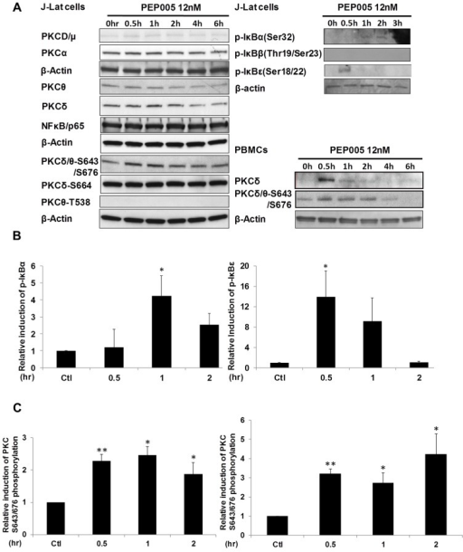PEP005 activates PKCδ/θ-IκBα/ε-NF-ĸB signaling.(A) J-Lat A1 cells or PBMCs isolated from peripheral blood of healthy HIV-negative individuals were treated with 12 nM of PEP005 for up to 6 hours. Western blot analysis was performed to detect the expression of PKC isoforms, IκB isoforms, as well as expression of NF-κB/p65. (B) Quantitation of phosphorylation of IκBα or IκBε in J-Lat A1 cells after 2hr treatment with PEP005 in panel A. Relative band intensities from three independent experiments in J-Lat A1 cells as determined using ImageJ (NIH) are shown in the bar graph. * p<0.05. (C) Quantitation of PKCδ/θ S643/S676 phosphorylation after 2hr treatment of PEP005 in panel A. Relative band intensities from three independent experiments in J-Lat A1 cells (Left panel) or PBMCs (Right panel) as determined using ImageJ (NIH) are shown in the bar graph. * p<0.05, ** p<0.01.