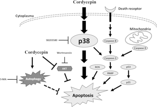 Schematic representation of cordycepin triggers apoptosis of MA-10 mouse Leydig tumor cells through p38, caspase, and PI3K/AKT/mTOR signaling pathways.Cordycepin treatment is able to induce the activation of p38. The activation of p38 is able to induce a cascade of events that include cleaved caspase-3 and PARP activation resulting in the induction of apoptosis. Cleaved caspase-3 also can be triggered by either death receptor-dependent or mitochondrion-dependent signaling pathways to promote the terminal phase of apoptosis. It should be also noted that treatment of cordycepin promotes MA-10 cell apoptosis through the activation of p53-dependent pathways and accumulation of ROS level. These signaling pathways associate and induce cell cycle arrest, leading to the final stages of apoptosis. Cordycepin also induced autophagy by suppressing PI3K/AKT/mTOR pathways. The molecular mechanism triggered by cordycepin in the MA-10 mouse Leydig tumor cells and this mechanism may be a model for future targets of cancer treatment. Potential major pathways are indicated by large arrowhead, and potential minor pathways are indicated by slight arrowhead.