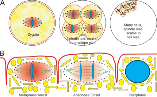 Molecular crowding in the mitotic spindle. Schematic view of how a spindle envelope could mitigate spindle size scaling during development (A) or cell cycle control (B) in a common cytoplasm. (A) A spindle envelope (black dotted line) that excludes large membrane-bound organelles (yellow) could locally increase the concentration of spindle proteins (depicted as a red background) such as tubulin to control spindle size independent of cell size during early development. (B) Neighboring nuclei in a common cytoplasm (e.g., the syncytial mitotic gonad in C. elegans) could have differing mitotic states by restricting the diffusion of important regulatory proteins such as Mad2 (similar coloring as in A).