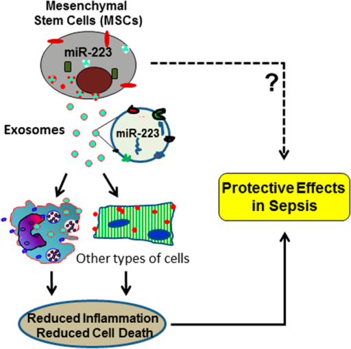 A work model elucidating that miR-223 contributes to MSC-elicited protective effects against sepsis through the exosome-mediated transfer of miR-223 to other types of cells (i.e. macrophages and cardiomyocytes), leading to attenuation of inflammatory response and inhibition of cell death in recipient cells.
