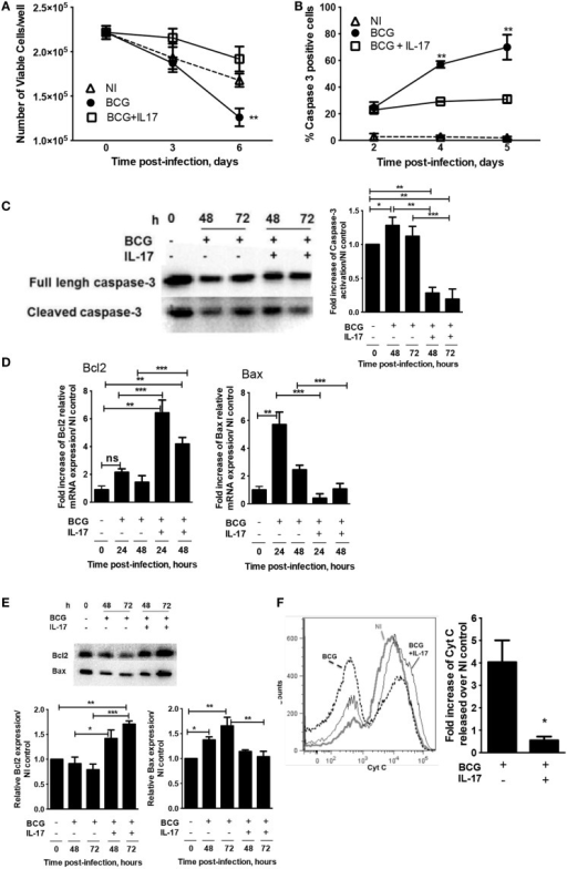 IL-17 inhibits macrophage apoptosis induced by mycobacterial infection. BMDM were infected with M. bovis BCG in the presence or absence of IL-17 as indicated. (A) On days 2 and 7 post-infection, the cell viability was assessed by enumerating nuclei. (B) On days 2, 4, and 5 post-M. bovis BCG infection, activation of caspase-3 was assessed by immunofluorescence. (C) At 48 or 72 h post-M. bovis BCG infection, full-length and cleaved forms of caspase-3 protein were determined by western blot. (D,E) At 24 or 48 h post-M. bovis BCG infection, the Bcl2 and Bax mRNA or at 48 or 72 h post-M. bovis BCG infection, the protein were determined by real-time PCR or western blot respectively.(F) Cytochrome c release from the mitochondria was determined 2 days post-infection by flow cytometry. The fold increase of cytochrome c released over NI control was calculated for each independent experiment. Representative images used for (A) and (B) are in Figure S2 in Supplementary Material. Represented are the mean ± SE of four independent experiments. Significance determined by one-way ANOVA (A,B) or Student's t test (D–F) (*p < 0.05; **p < 0.01; ***p < 0.001).