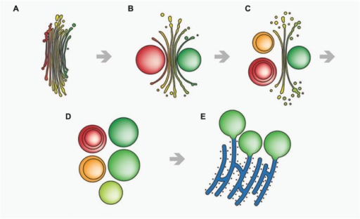 Schematic drawing of stress-induced degradation of dictyosomes in Micrasterias. (A) Control dictyosome with 11 cisternae (cis-side in red). (B) Beginning degradation, outermost cis- and trans-cisternae form balls. (C) Proceeding degradation and reduction of cisternal number. Cisternal balls include other cisternal balls. Numerous degradation products are visible close to the degrading dictyosome. (D) Dictyosome has completely disintegrated into balls. (E) The cisternal balls fuse with long, stress-induced ER cisternae. Reprinted with permission from Lütz-Meindl et al. (2015), Copyright© 2015 Royal Microscopical Society.