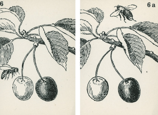 <p>A pair of strabismus diagnostic and exercise cards in black and white.  The card to the left, 6, has the image of a branch of a cherry tree with 2 cherries and a bee to the left of the cherries; the card to the right, 6a, has the image of a branch of a cherry tree with 2 cherries and a bee over the branch.  Stereoskopische Bilder fur schielende Kinder.</p>