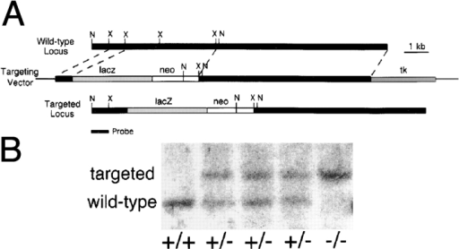 Targeted mutagenesis of the Lama5 gene. (A) The targeting vector deleted exons encoding 113 amino acids and replaced them with an in frame lacZ cDNA and the PGK neo selectable marker. N, NcoI; X, XbaI. (B) Southern analysis of  genomic DNA from E13.5 embryos demonstrates the existence  of the three expected genotypes, confirming that targeting was  successful and that homozygous mutants were alive at this age.  The probe, shown in A, was from outside the short arm of the targeting vector. (C and D) Presence of laminin α5 protein in control (C) but not mutant (D) distal limb ectodermal BL at E13.5,  detected immunohistochemically with antisera to epitopes outside of the targeted region. Bar, 50 μm.