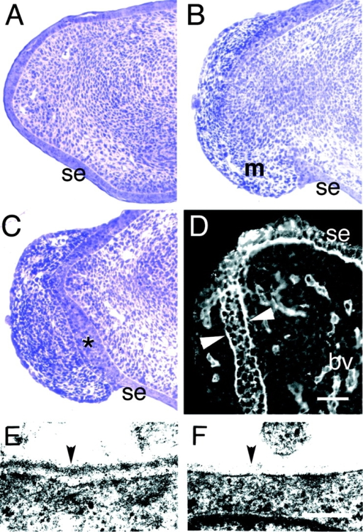 Discontinuity of epidermis and BL in the distal limb.  (A–C) Toluidine blue–stained semithin sections of distal limb  from control (A) and mutant (B and C) E14.5 embryos. The surface ectoderm (se) is continuous in controls (A). In mutants, in  contrast, the ectoderm has been breached, and extruded mesenchymal cells (m) have migrated along the outer surface of the  limb (B). A nearby section from the same mutant limb shows a  thickened surface ectoderm (*) between the outer and inner mesenchymal populations (C). (D) Immunostaining of Lama5 −/−  limb with an antibody to laminin γ1 demonstrates the presence of  BL material on both sides of the thickened ectoderm (arrowheads), suggesting that the ectoderm has maintained a proper relationship with the displaced mesenchymal cells. (E and F) Ultrastructural analysis of distal limb BL at E14.5 shows a dense,  continuous BL (arrowhead) in the control (E) but a patchy, discontinuous BL in the mutant (F). Bars: (in D) 62.5 μm for A–C,  50 μm for D; (in F) 0.25 μm for E and F.