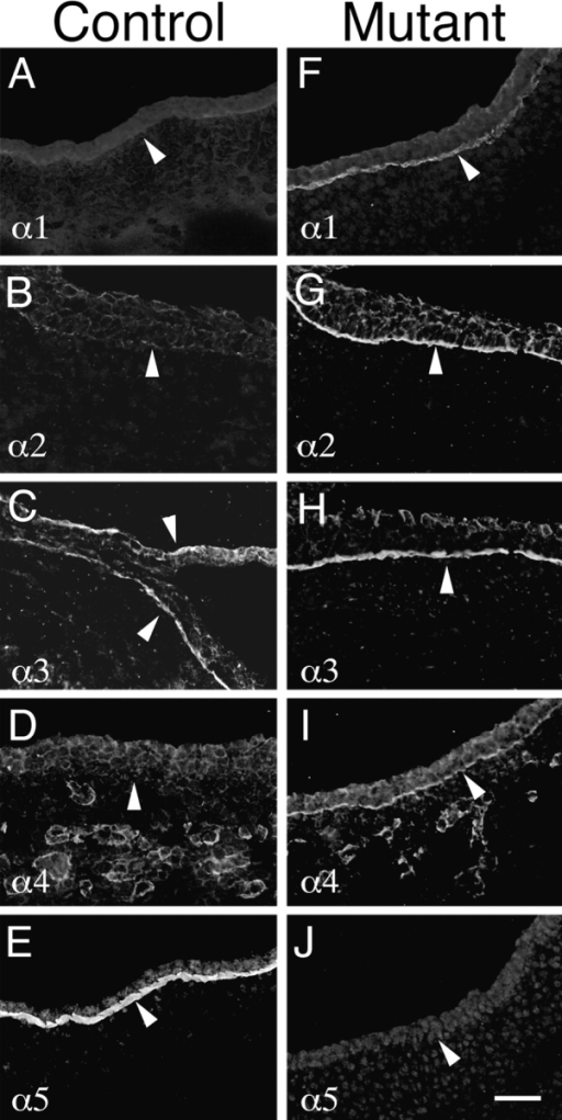 Molecular compensation for loss of laminin α5 in  Lama5 −/− ectoderm. E13.5 controls (A–E) and mutants (F–J)  were stained with antisera specific for the five known laminin α  chains. Micrographs show surface ectoderm from the flank. Normal ectodermal BL (arrowheads) contained only α3 and α5 at  this age, but mutant BL contained the α1–α4 chains. Thus, α1, α2,  and α4 were upregulated in response to loss of α5. Bar, 50 μm.