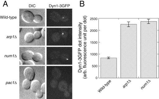 Localization of Dyn1–3GFP in living arp1Δ, num1Δ, and pac1Δ cells. (A) DIC and Dyn1–3GFP fluorescence images of isogenic wild-type and mutant cells. The video camera and microscope settings were the same for the different strains. arp1Δ and num1Δ cells showed increased fluorescence intensity for Dyn1–3GFP dots in the bud. pac1Δ cells showed the absence of cytoplasmic Dyn1–3GFP motile dots. See Videos 12–15 (available at http://www.jcb.org/cgi/content/full/jcb.200209022/DC1). (B) Relative fluorescence intensity of motile Dyn1–3GFP dots in wild-type, arp1Δ, and num1Δ cells. The average corrected fluorescence per dot is plotted; n = 72 dots for wild type, 91 dots for arp1Δ, 84 dots for num1Δ. Error bars represent standard error. Strains: DYN1–3GFP, YJC2772; DYN1–3GFP arp1Δ, YJC2908; DYN1–3GFP num1Δ, YJC2910; DYN1–3GFP pac1Δ, YJC2912.