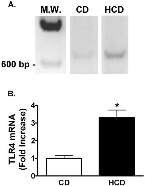 The effect of diet and LPS on hepatic TLR4 mRNA. Representative images of ethidium-stained agarose electrophoresis gels of RT-PCR products of RNA extracted from livers of mice fed CD or HCD for 4 weeks (A). MW is a Lambda HindIII molecular weight marker. Signal intensities were measured as in figure 4A and normalized to the RT-PCR signal for β-actin in each sample (B). Bars depict mean normalized signal ratios + SE for 5 mice fed each diet, relative to the CD group, represented by 1 on the y-axis. *: p < 0.05 for comparison with CD.