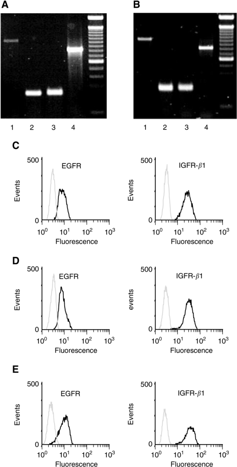 mRNA and protein expression of EGFR and IGFR in neuroendocrine tumour cells. (A, B) mRNA expression of EGFRvIII (lane 1), EGFR-1 (lane 2) and IGFRβ-1 (lane 3) was evaluated in CM (A) and BON tumour cells (B). β-Actin was used as positive control (lane 4 in A and B), 100 bp DNA ladder. (C–E) Flow cytometric analysis of the expression of EGFR and IGFRβ-1 proteins in CM cells (C), BON cells (D) and STC-1 cells (E). Black lines: cells stained with specific polyclonal antibodies against either EGFR or IGFRβ-1; grey lines: negative controls.