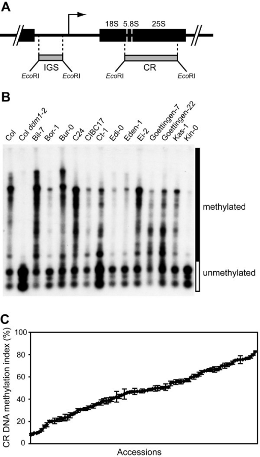 DNA methylation in 45S rRNA gene repeats among Arabidopsis natural accessions. (A) A 10-kb rRNA gene repeat unit encoding the 18S, 5.8S, and 25S rRNAs. A bent arrow shows the location of the transcription start site, and the two hybridization probes (IGS and CR) are indicated below the monomer repeat unit as gray bars. (B) A representative genomic DNA blot analysis of Arabidopsis natural accessions using the CR probe. HpaII-digested genomic DNA was size fractionated by gel electrophoresis and transferred to a nylon membrane. The membrane was hybridized with radiolabeled CR probe corresponding to the 5.8S and 25S rRNA coding regions (see the map above). The hybridization signal indicates the extent of DNA methylation in the rRNA gene clusters; unmethylated fragments are cleaved by HpaII to small fragments (open box), whereas methylated genomic fragments remain uncleaved, or partially cleaved, and migrate as larger fragments (solid box). (C) Variation in CR DNA methylation among 88 Arabidopsis natural accessions. CR DNA methylation index (%) was calculated by measuring the percentage of hybridization signal in each lane that corresponded to restriction fragments >1 kb. Means and standard errors were calculated from at least three independent experiments.