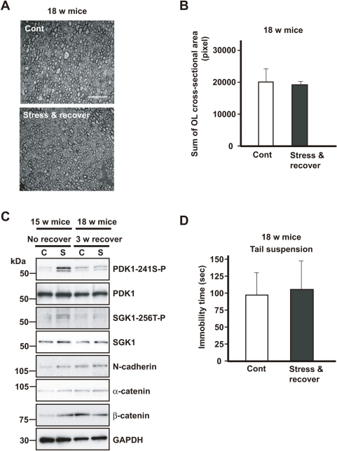 Activation of the PDKI-SGKI-NDRG1-adhesion molecule pathway returns to the control level after 3 weeks recovery.(A) Representative transverse electron micrographs of the corpus callosum of no-stress controls (18-week-old mice) (Cont) and after 3 weeks recovery after exposure to WIRS (18-week-old mice) (stress & recover). Scale bars = 10 µm. (B) Quantification of the sum of the cross-sectional areas of the oligodendrocytes is shown in panel A. Morphometric measurements were made using ImageJ software. The results are expressed as the mean ± SEM of 3 independent experiments. *p<0.05, t-test. (C) Western blot analysis of the corpora callosa of mice exposed to repeated WIRS (15-week-old mice) and after 3 weeks recovery (18-week-old mice). In the lysates from the corpora callosa of the mice in which repeated exposure to WIRS was discontinued, no increase in PDK1 phosphorylation, SGK1 expression or phosphorylation, or the expression of adhesion molecules such as β-catenin was identified. (D) Effects of a chronic stress, i.e., 3-week recovery after exposure to repeated WIRS, on mouse behavior. Mice in which repeated exposure to WIRS (18-week-old mice) was discontinued show no significant difference in the tail-suspension test compared to the control mice (18-week-old mice). The results are expressed as the mean ± SEM of 3 independent experiments. *p<0.05, t-test.