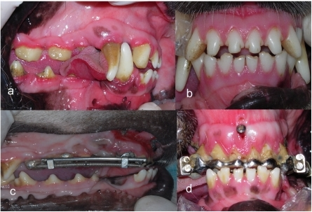 Occlusion comparison of experiment groups before and after the treatment.(a, b) before the treatment. (c, d) after the treatment. Occlusal views show that the upper incisors were retracted after 12 days of distalization.