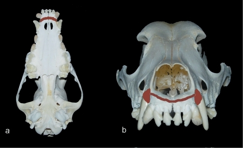 Areas of corticotomy (brown).(a) area on the palatal side. (b) area on the buccal side.