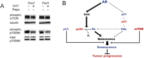 Molecular mechanism of the AR-induced senescence.This figure summarizes our findings. (A) mTOR activity in PC3-AR cells. Cells were treated with Dox alone (D) or in combination with DHT. Cell extracts were collected at days 3 and 5 of treatment and analyzed by Western blot for phosphorylated mTOR and p70S6K. Tubulin and total p70S6K served as loading controls. (B) Schematic representation of pathways leading to AR-indiced senescence: AR triggers two parallel pathways, necessary to ensure senescence and possibly engaged in a cross-talk: (1) Activated AR directly binds p21 promoter and thus causes protein expression and accumulation. P21 attenuates the levels of TAp63-α, increasing the number of PML nuclear bodies and causing senescence (2) AR enhances ROS production thus reducing phospho-Rb levels, while active Rb binds and sequesters E2F, causing senescence. Elevated p21 levels may additionally decrease phospho-Rb by blocking Cdks. Conversely, transcriptionally inactive Rb/E2F/HDAC complexes may be sequestered in PML bodies to maintain irreversible growth arrest/senescence. These pathways cumulatively contribute to quiescence, which progresses to senescence due to constitutive high mTOR activity.