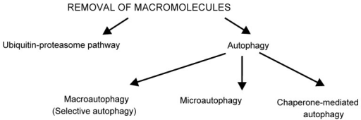 Pathways to remove stress-damaged macromolecules. The two major degradation pathways in eukaryotes are the ubiquitin-proteasome pathway (UPP) and autophagy. UPP is the degradation pathway for soluble proteins. In response to oxidative stress, it degrades oxidized proteins [15]. Through degradation of the transcription factor nuclear factor-E2-related factor 2 (Nrf2) that is involved in the transcriptional regulation of antioxidant enzymes, the UPP participates in the regulation of the intracellular redox status [41,42]. Autophagy is the name for several degradation pathways. Its best-described form is macroautophagy, the non-selective process of engulfment of cellular material into double membrane vesicles, which are delivered to lysosomes for degradation [43,44]. It has been recently appreciated that autophagy is also selective, called selective autophagy, in which the cargo is recognized by adaptor proteins [45]. Tiny portions of cytoplasm are sequestered and subsequently engulfed by lysosomes in microautophagy [46,47]. This process is well known in yeasts, however, there are not enough data on the mechanisms and physiological relevance of the mammalian microautophagy so far [46]. Chaperone-mediated autophagy (CMA), described only in mammals, delivers selected proteins into lysosomes through specific receptors [48].