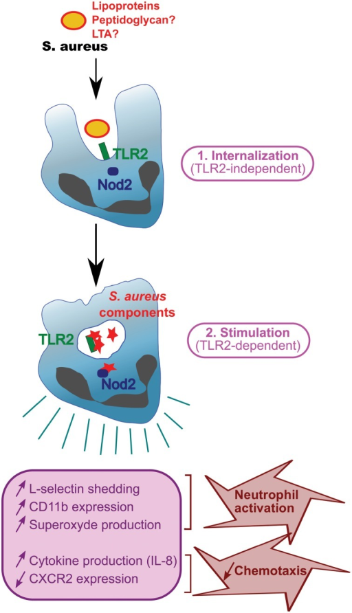 Function of TLR2 during phagocytosis.S. aureus with surface TLR2 ligands (lipoproteins, peptidoglycan, and LTA) is internalized in a TLR2-independent manner and digested in phagosomes. Staphylococcal components are released and stimulate PRRs e.g., TLR2 or Nod2, resulting in phagocyte activation and production of cytokines.