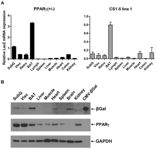 LacZ expression controlled by PPARγ conserved sequences 1-5 reflects the tissue-specific pattern of endogenous PPARγ expression.(A) Tissue distribution of LacZ mRNA expression in PPARγ (+/−) and PPARγ CS1-5_LacZ line 1 transgenic mice (5 weeks, n = 3), evaluated by RT-qPCR. Error bars denote mean ± S.D. (B) Western blot analysis of β-galactosidase and PPARγ levels in tissues of PPARγ CS1-5_LacZ line 1 mice (7 weeks, n = 2). An extract of HEK-293T cells expressing exogenous β-galactosidase served as positive control.