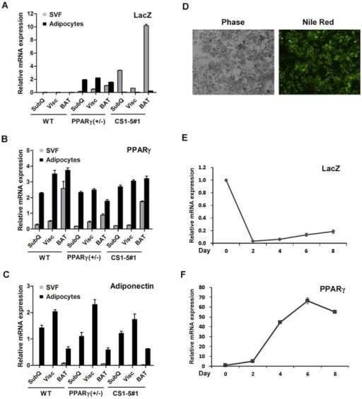 Conserved PPARγ sequences 1 to 5 are transcriptionally active in adipocyte precursors, but not in mature fat cells.Real-time qPCR analysis of LacZ (A), PPARγ (B), and adiponectin (C) expression in the stroma-vascular (SVF) and adipocyte fractions of fat pads derived from wild type, PPARγ (+/−), and PPARγ CS1-5_LacZ line 1 mice (6–7 weeks, n = 3 per group). Error bars denote mean ± S.D. (D) Conditionally immortalized SV cells from subcutaneous WAT of line 1 transgenic mice at day 8 post-induction of adipocyte differentiation. Nile-red stains adipocyte neutral lipids. Levels of LacZ (E) and PPARγ (F) mRNA expression during the course of adipocyte differentiation in these cells. Error bars denote mean ± S.D.