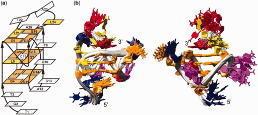 (a) RNV66 G-quadruplex topology. Residues forming the G-quadruplex core and LNA residues are shown in orange and yellow rectangles, respectively. (b) Superimposition of the family of the 10 best structures. The two views are rotated with respect to one another to offer better overview of the structures. Guanine, LNA, adenine, thymine and cytosine residues are colored orange, yellow, red, blue and pink, respectively.