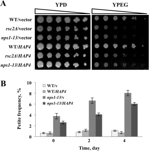 Overexpression of HAP4 alleviated the respiratory defect of nps1-13.(A) Effect of HAP4 overexpression on nps1-13 growth on YPEG. WT (BY4743) and nps1-13 (BYI-3) cells harboring pRS426 (WT/v and nps1-13/v, respectively) or pRS426GPDpr::HAP4 (WT/HAP4 and nps1-13/HAP4, respectively) were grown to log phase in SD-Ura medium, spotted on YPD and YPEG plates in serial five-fold dilutions and incubated at 30°C for 3 days. (B) Effect of HAP4 overexpression on petit nps1-13 colony formation. The strains described in (A) were plated on YPEG; three independent colonies were subsequently picked, pre-cultured in SD-Ura medium, and separately grown in YPD medium. On the indicated days, 200 cells from each culture were plated on YPD plates and incubated at 30°C for 3 days. Data are presented as the means ± SEM (n = 3).